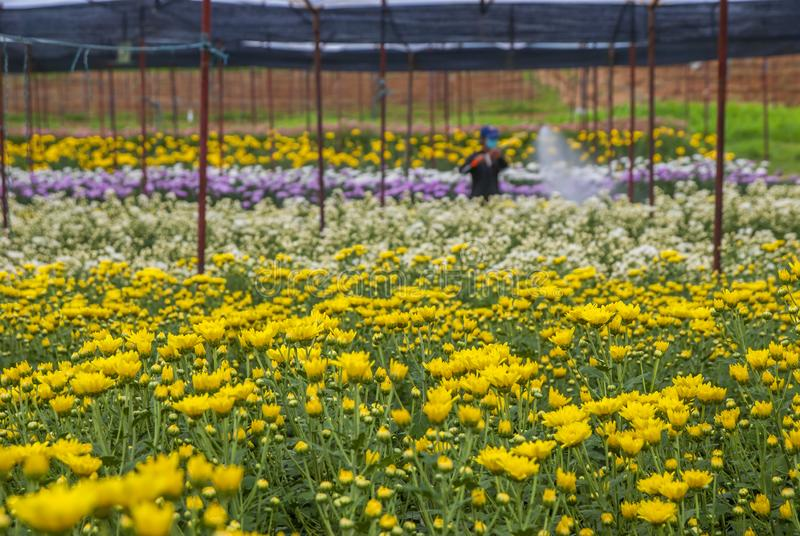 Chrysanthemum, Chrysanthemums farm, Chrysanthemums farm from Thailand country royalty free stock images