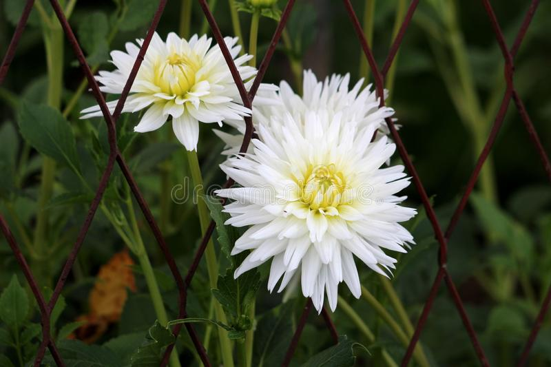 Chrysanthemum or Chrysanths flowering plants with open white flowers with yellow center growing through rusted metal fence. Chrysanthemum or Chrysanths or Mums royalty free stock photos