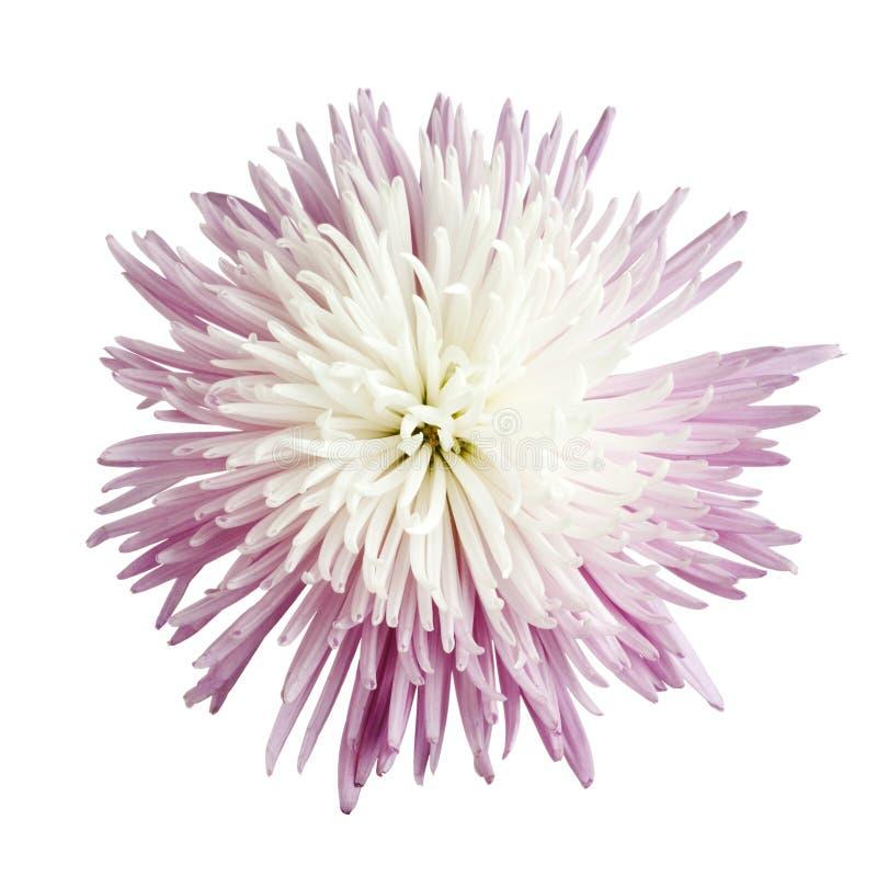 Chrysanthemum de momie d'araignée photos libres de droits