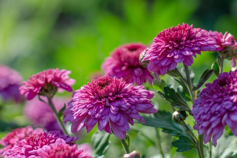 Chrysanthemum with dew drops. Purple flowers in the garden royalty free stock photos