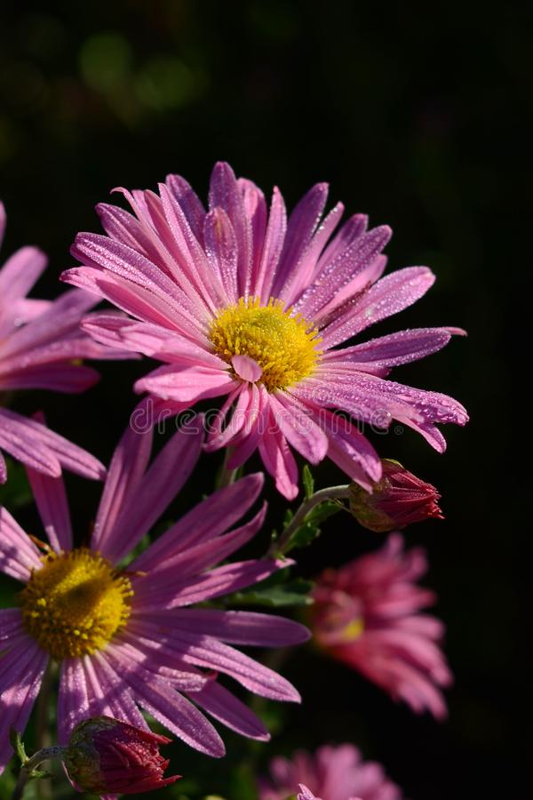 Chrysanthemum with dew drops. Purple flowers in the garden stock image