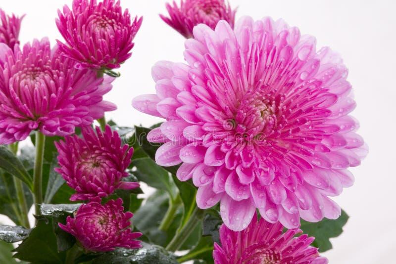 Chrysanthemum flower. Pink chrysanthemum flower autumn flowers in macro
