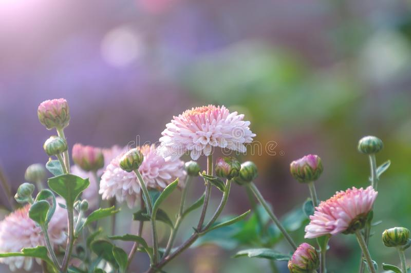 Chrysanthemum flower bed with flare from sunshine and sweet soft pink bokeh from the light on the blurred background stock images