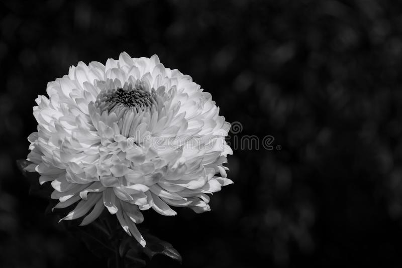 Chrysanthemum flower in Black and White. A white isolated Chrysanthemum flower in a black and white photograph stock photography