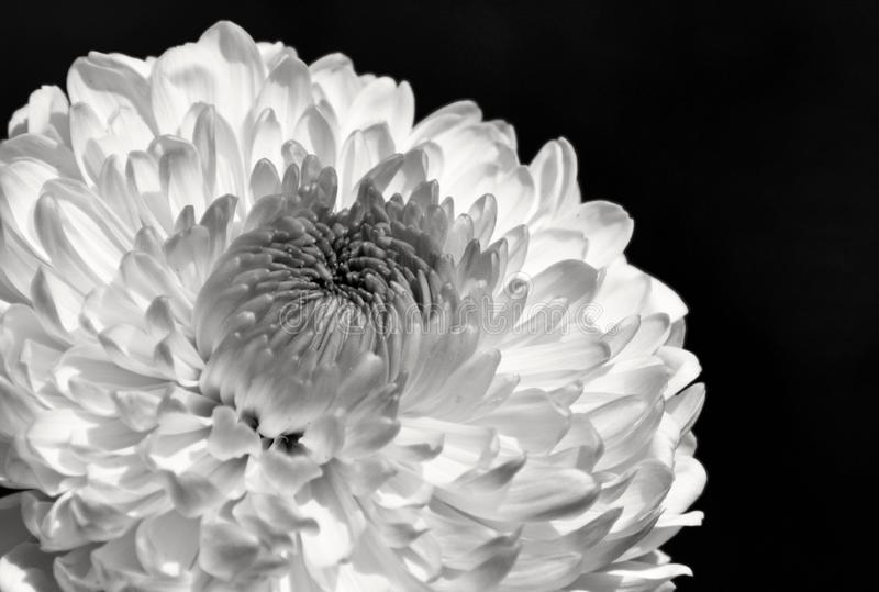Chrysanthemum flower close up / macro in black and white. A white Chrysanthemum flower in black and white against a solid black background royalty free stock photo