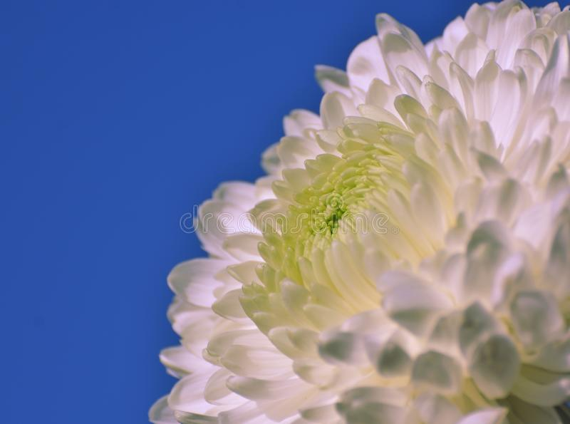 Chrysanthemum flower close up / macro. A white Chrysanthemum flower in bright sunlight against blue sky royalty free stock photos