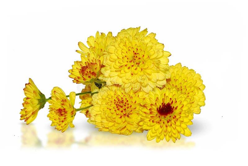 Chrysanthemum flower isolated on white. Background stock photos