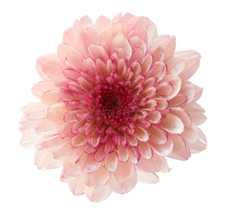 Chrysanthemum flower isolated on white background stock photos
