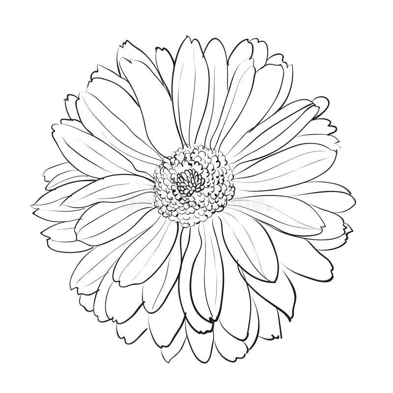 Black Flower On White Background Royalty Free Stock: Chrysanthemum Flower On White Background. Stock Image
