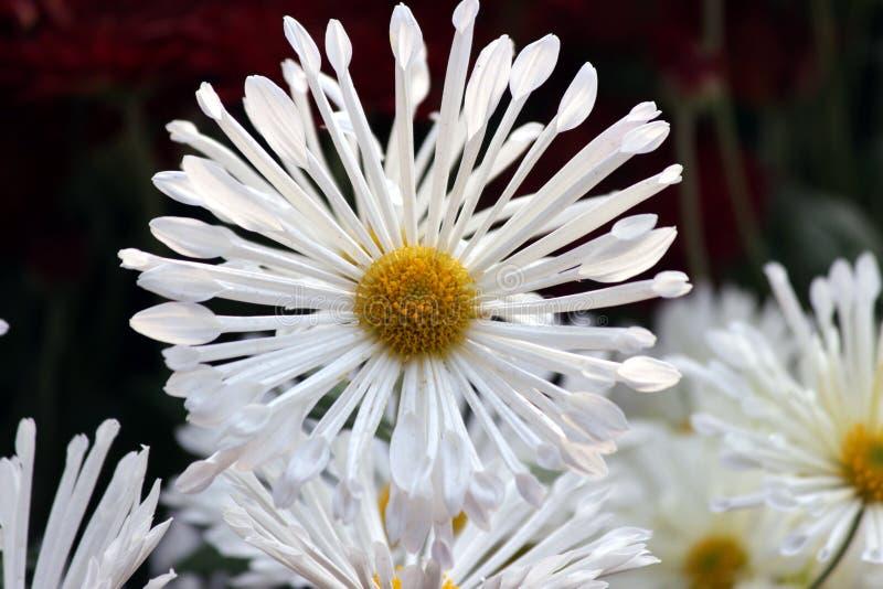 Chrysanthemum flower stock photography