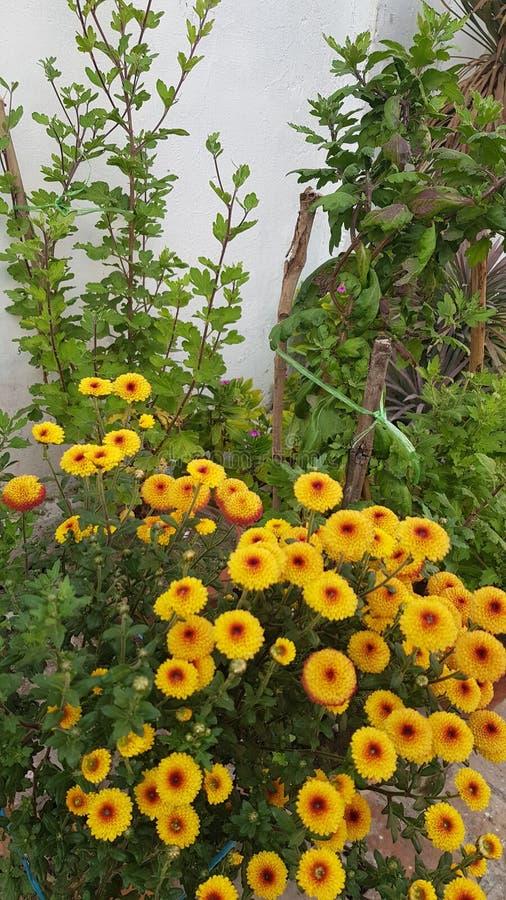 Chrysanthemum is a flowering plant stock image