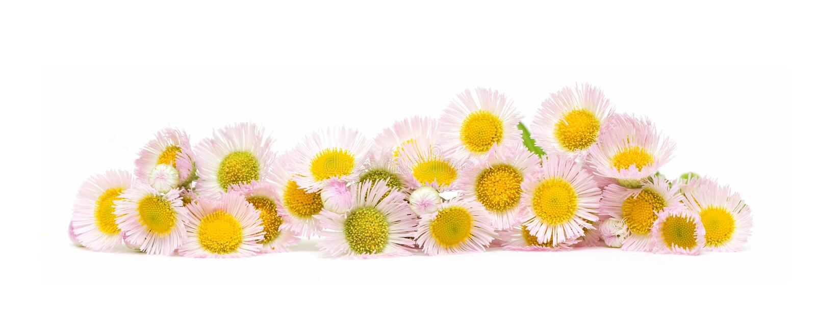 Chrysanthemum flowers isolated on a white background stock photography