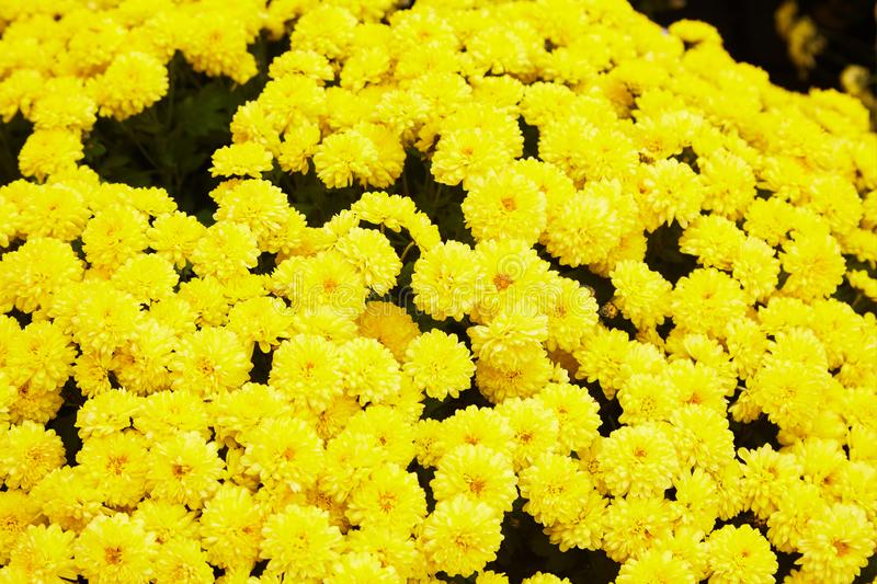 Chrysanthemum flowers as a background close up. Yellow Chrysanthemums. royalty free stock images
