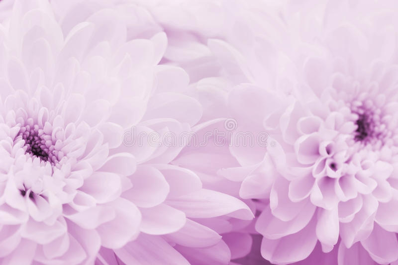Chrysanthemum flowers for background, beautiful floral texture, retro toning, pink color. Macro royalty free stock photo