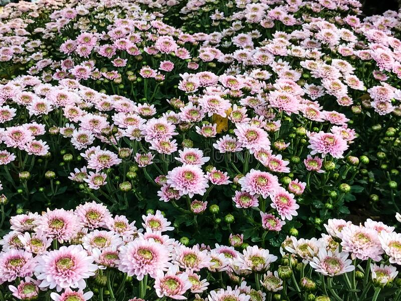 Chrysanthemum flowers are blooming in the garden. Beautiful chrysanthemum flowers are blooming in the garden stock photo
