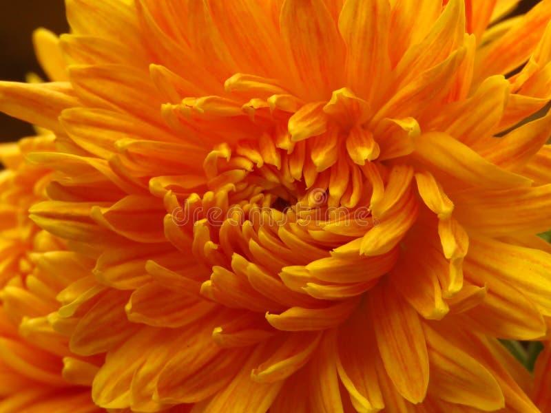 Chrysanthemum flowers bouquet. Beautiful vibrant orange yellow autumn garden flower. Close up view. royalty free stock photo