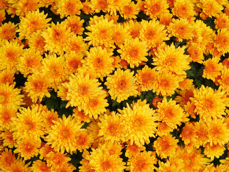 Chrysanthemum. Flowers in close up stock images