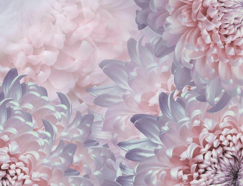 Chrysanthemum flowers. pink and violet violet background. floral collage. flower composition. Close-up stock illustration