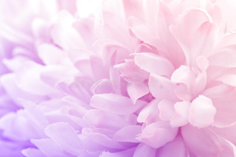 Chrysanthemum flowers in soft pastel color and blur style for background. And design royalty free stock image