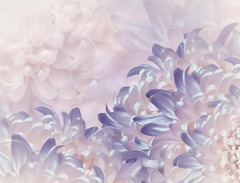 Chrysanthemum flowers.  violet and pink background. floral collage. flower composition. Close-up. stock photography