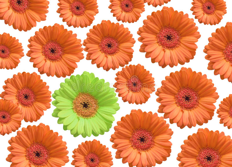 Chrysanthemum flowers on white background with one stock photography