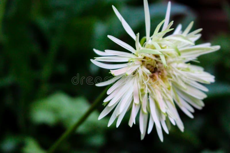 Chrysanthemum is going to wilt. stock photos