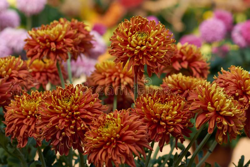 Chrysanthemum grandiflorum Ramat. `Crimson Robe`. Orange chrysanthemum in autumn botanical garden. Decorative composition of ora stock photo