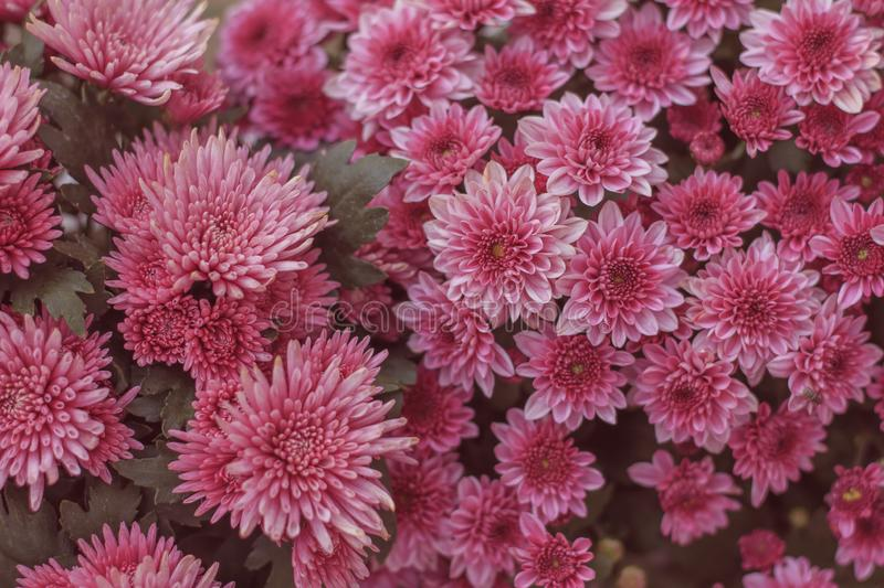 Chrysanthemum has beautiful pink and white fins. Flowers decorated with home and garden royalty free stock image