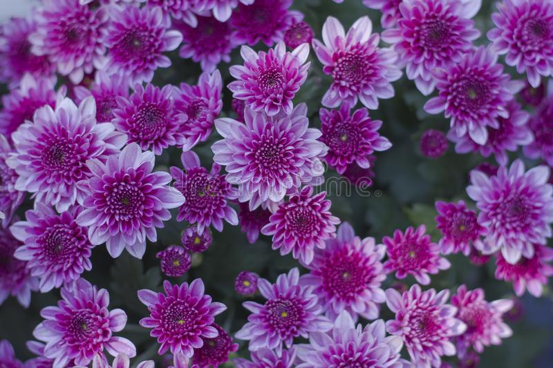 Chrysanthemum has beautiful pink and white fins. Flowers decorated with home and garden stock image
