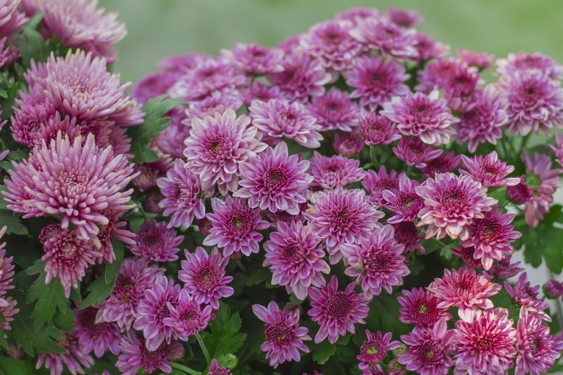 Chrysanthemum has beautiful pink and white fins. Flowers decorated with home and garden royalty free stock photo