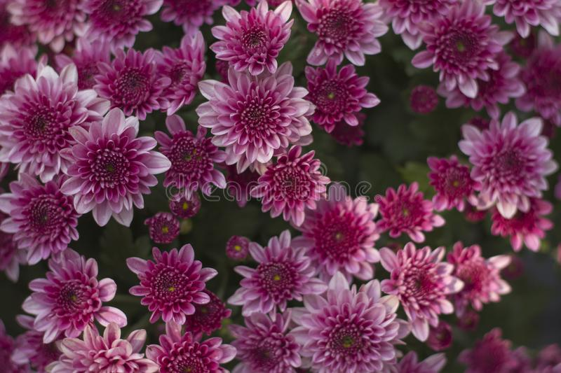 Chrysanthemum has beautiful pink and white fins. Flowers decorated with home and garden royalty free stock photography