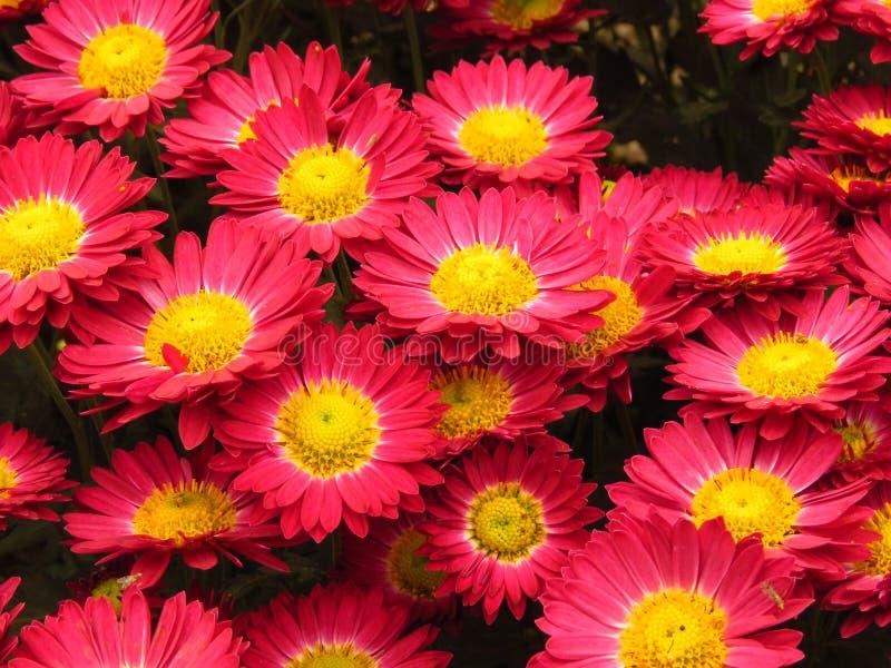 Chrysanthemum indicum. Chrysanthemum outdoor flowers bouquet. Beautiful small vivid violet and yellow autumn park garden flower. Chrysanthemum indicum royalty free stock photo