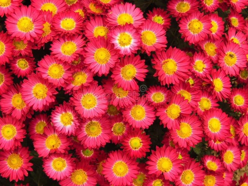 Chrysanthemum indicum. Chrysanthemum outdoor flowers bouquet. Beautiful small vivid violet and yellow autumn park garden flower. Chrysanthemum indicum stock images