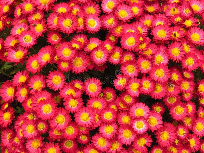 Chrysanthemum indicum. Chrysanthemum outdoor flowers bouquet. Beautiful small vivid violet and yellow autumn park garden flower. Chrysanthemum indicum royalty free stock photos
