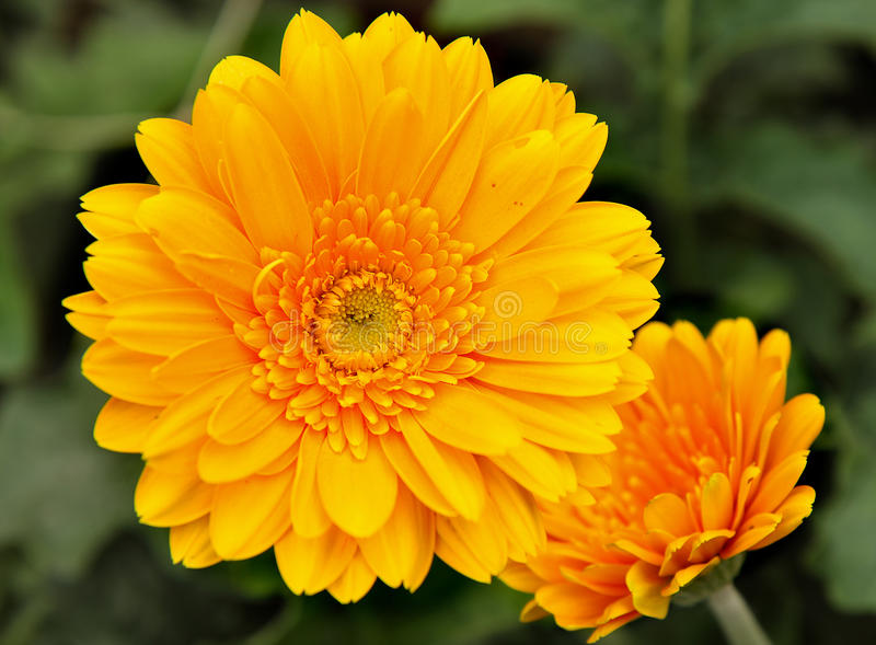 Chrysanthemum jaune photographie stock libre de droits