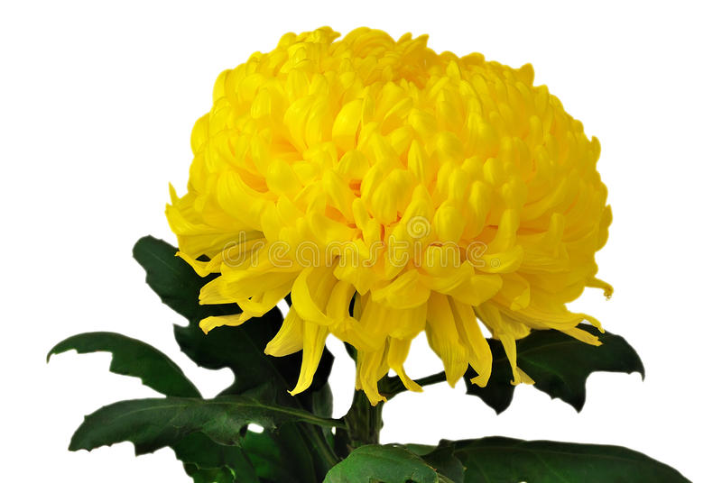 Chrysanthemum jaune photos libres de droits