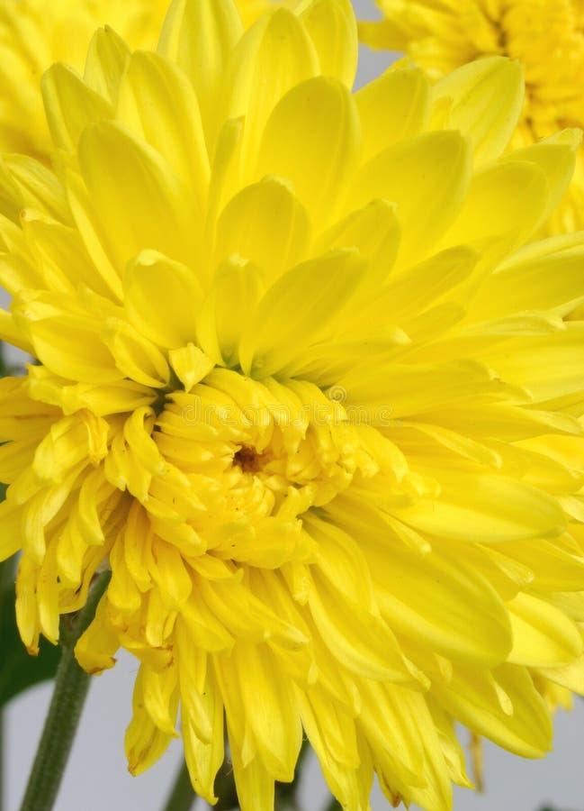 Chrysanthemum jaune images stock