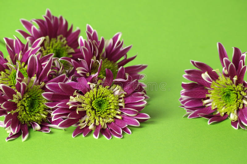 Chrysanthemum. Many lilac chrysanthemum for a green background royalty free stock images