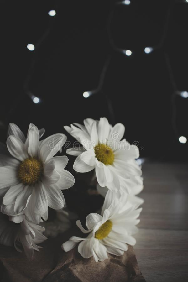 Chrysanthemum moody photo, White flower, golden-daisy on blurred background. With bokeh royalty free stock photo