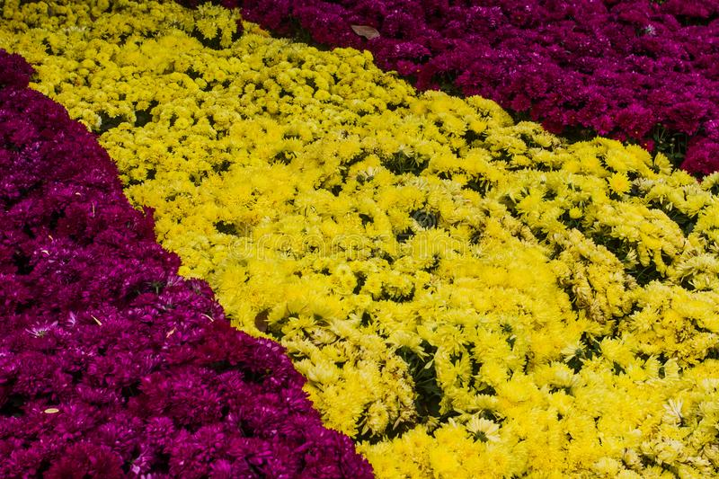 Chrysanthemum morifolium like cold or warm. If the plant big boob and north to have beautiful. stock image