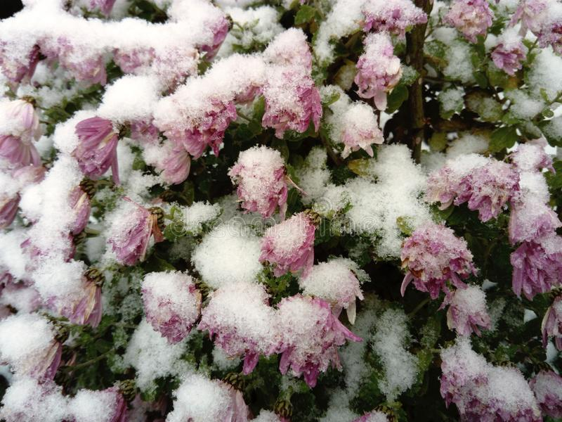 Chrysanthemum mums flowers in snow royalty free stock photography