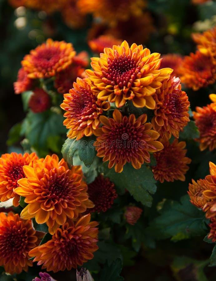 Chrysanthemum orange in the plots. royalty free stock images
