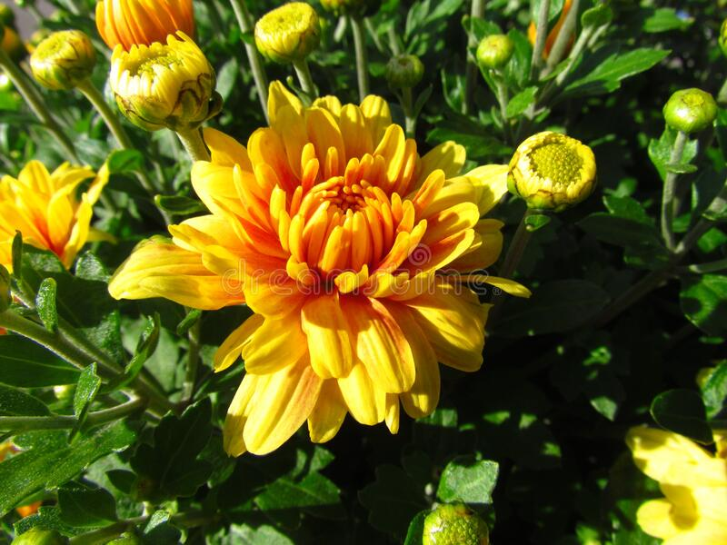 Chrysanthemum Other Names Mums Or Chrysanth Close Up Of Ye Llow