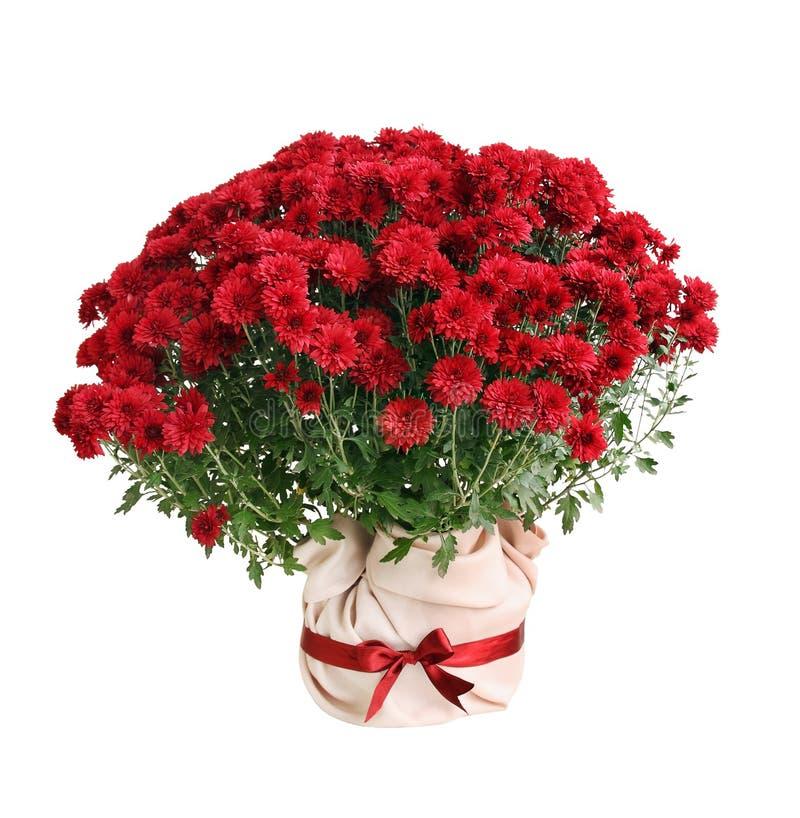 Chrysanthemum Paulo red stock photo