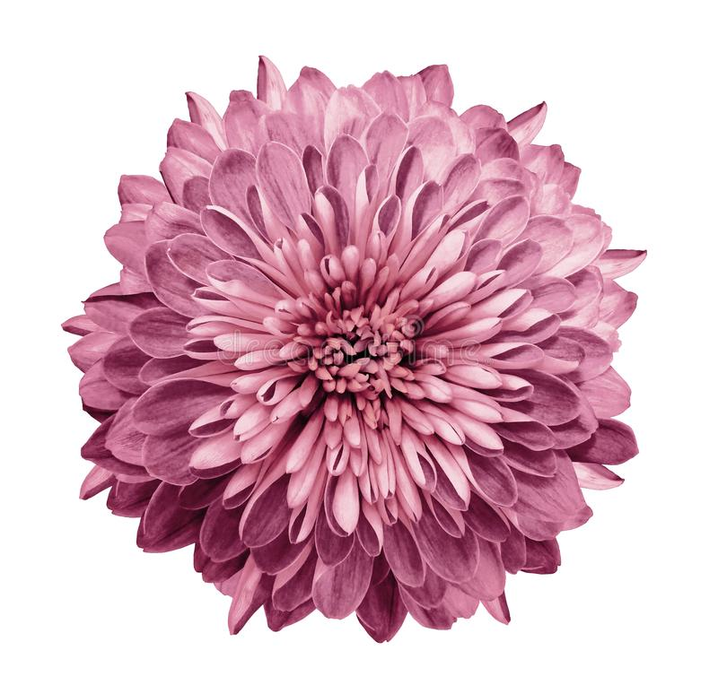 Free Chrysanthemum Pink. Flower On Isolated White Background With Clipping Path Without Shadows. Close-up. For Design. Stock Images - 112048784