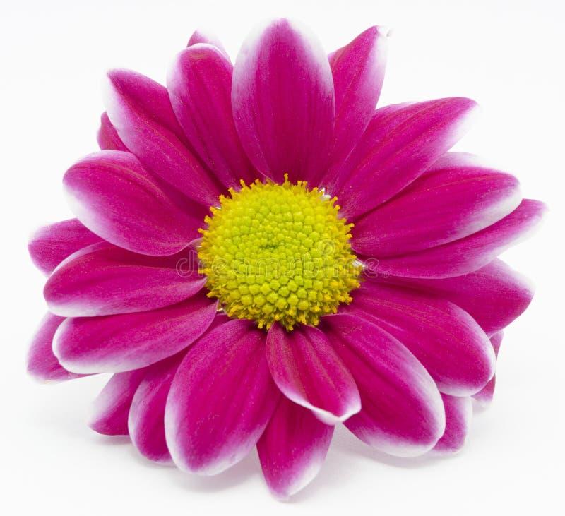 Chrysanthemum rouge photos stock