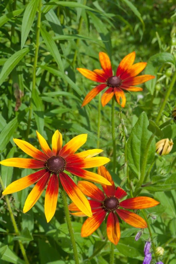 Chrysanthemum rouge jaune photo libre de droits