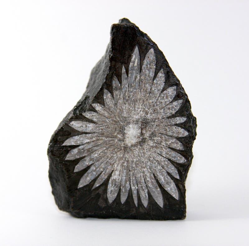 Chrysanthemum Stone royalty free stock photos
