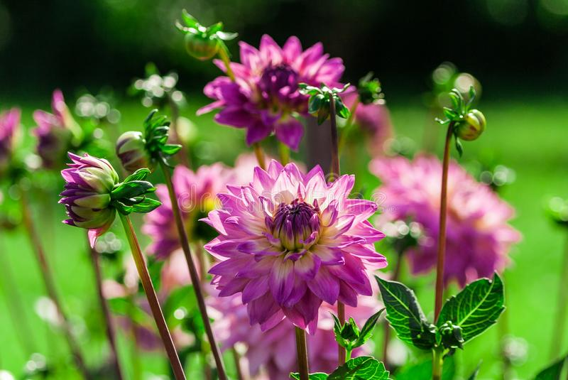 Chrysanthemum variety miss delilah dahlia, bright lilac, purple, full bloom. Several buds and flowers, lit by the sun in the garden, nature, natural stock images