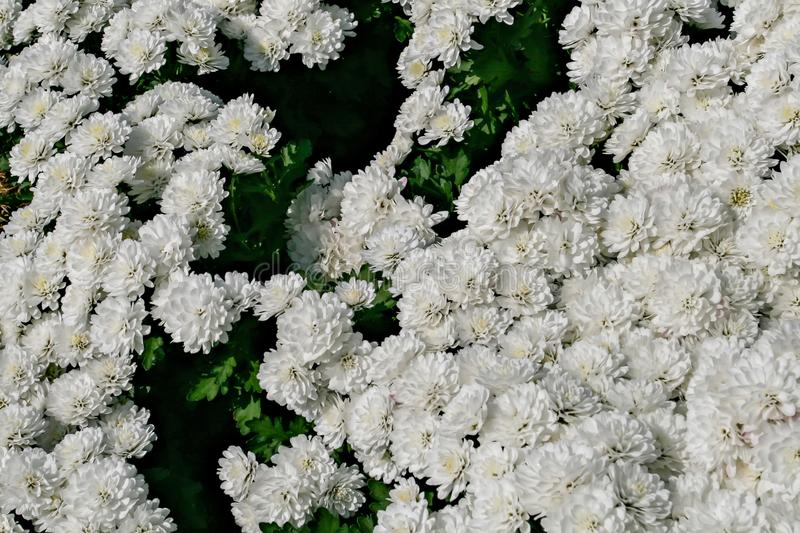 Chrysanthemum white bloom in the park, which is used as the background. royalty free stock photo